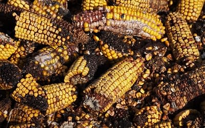 Food Processing and Trichothecene Mycotoxins Publication